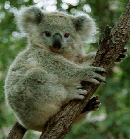 koala450j.jpg