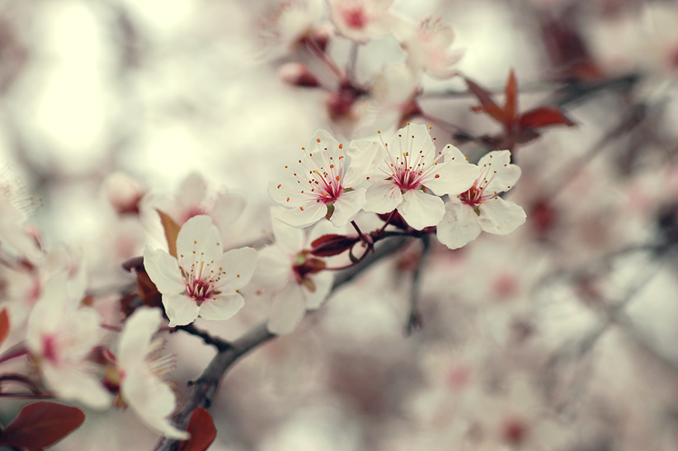 almond_blossom_by_guytz