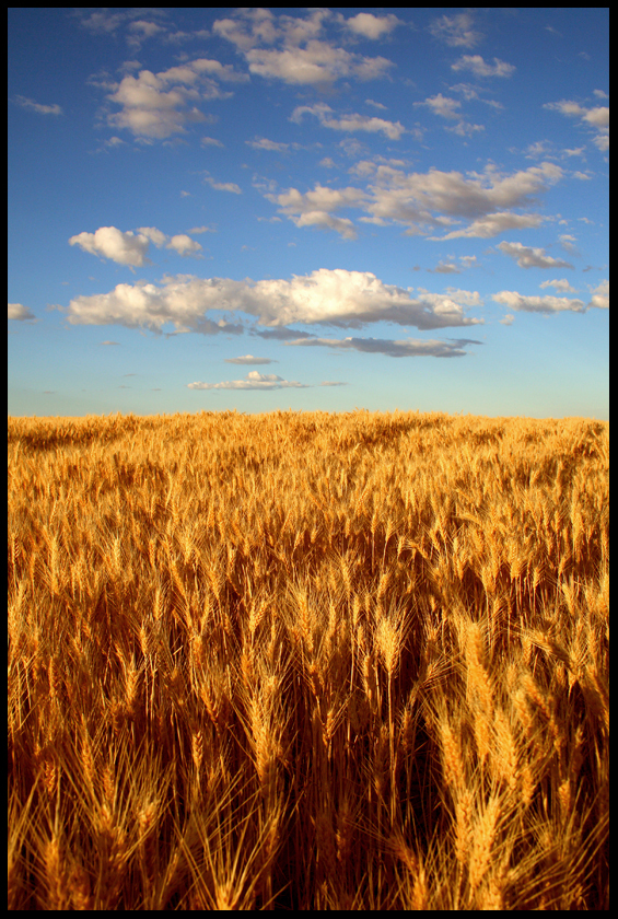 wheat_kings_by_stewdog